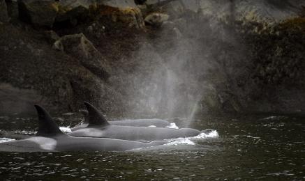 <h5>Orcas  _D859843</h5>