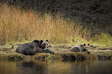<h5>Grizzly Bear with Cub _D852679</h5>
