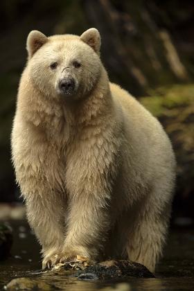<h5>Spirit Bear _MVP3781</h5>