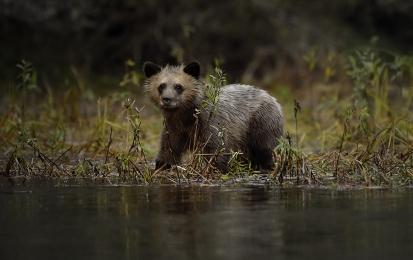 <h5>Grizzly Cub _D852774</h5>