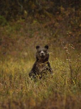 <h5>Grizzly cub _D850337</h5>
