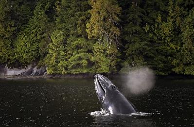 <h5>Humpback Whale _D856559</h5>