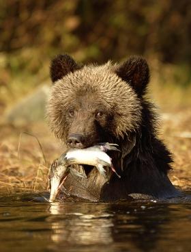 <h5>Grizzly Cub _D851947</h5>