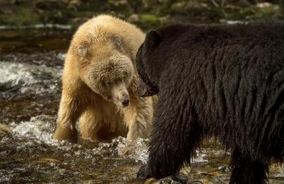 <h5>Spirit Bears _D520806</h5>