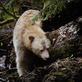 <h5>Spirit Bear D856758</h5>