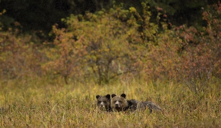 <h5>Grizzly cubs D850392 </h5>