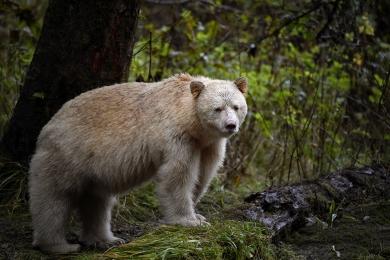 <h5>Spirit Bear D856863</h5>