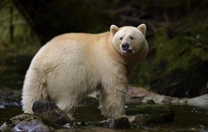 <h5>Spirit Bear D858961</h5>