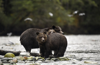 <h5>Grizzly Bears D850994</h5>
