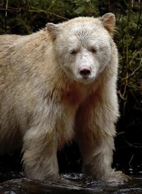 <h5>Spirit Bear D856921</h5>