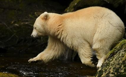 <h5>Spirit Bear Jump D859201</h5>