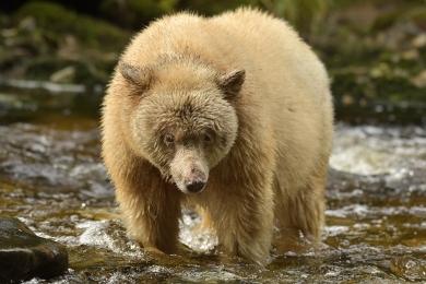 <h5>Spirit Bear D858929</h5>