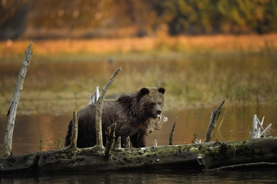 <h5>Grizzly Bear Cub D852482</h5>