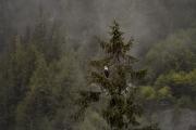 <h5>Great Bear Rainforest Eagle_D850573</h5>