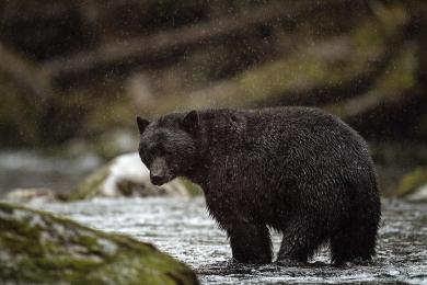 <h5>Black Bear_MVP1448 </h5>