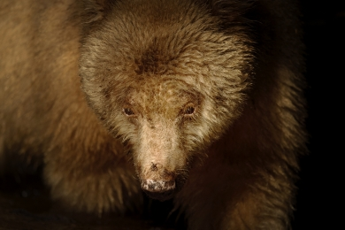 <h5>Spirit Bear MVP3415</h5>