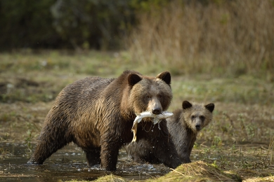 <h5>Grizzlies in Mussel Inlet D520072</h5>