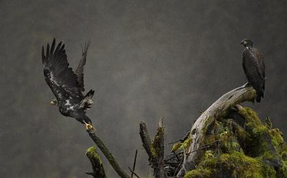 <h5>Eagles D850086</h5>