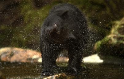 <h5>Black Bear Shake MVP2352</h5>