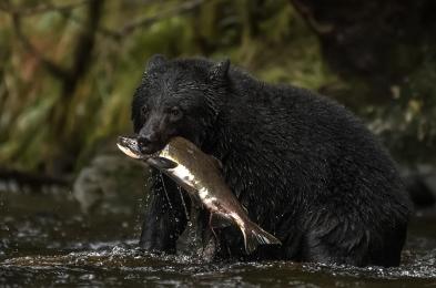 <h5>Black Bear D858568</h5>