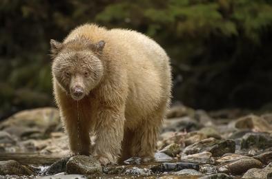 <h5>Spirit Bear 8683</h5>