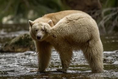 <h5>Spirit Bear D859383</h5>