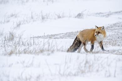 <h5>Red Fox D4S4024</h5>