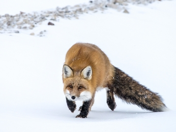 <h5>Red Fox D821032.</h5>
