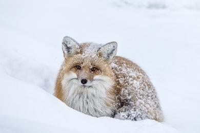 <h5>Red Fox D820997.</h5>