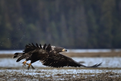 <h5>Juvenile Bald Eagle D851179 </h5>