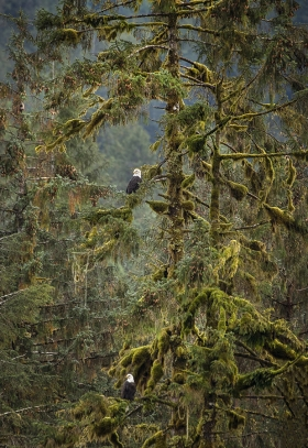 <h5>Rainforest Bald Eagles D853600</h5>