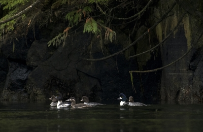 <h5>Goldeneye Ducks D853795</h5>
