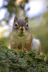 <h5>Red Squirrel_D850994</h5>