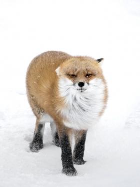 <h5>Red Fox D821170</h5>