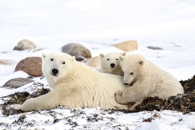 <h5>Polar Bear D4S3238</h5>
