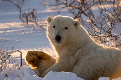 <h5>Polar Bear D3S0451</h5>