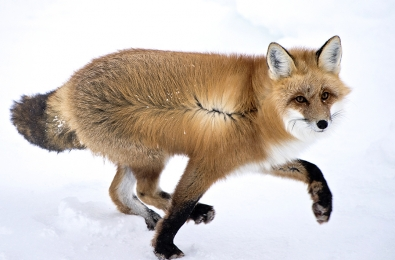 <h5>Red Fox D821158</h5>