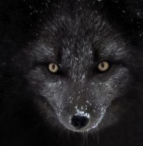 <h5>Arctic Blue Fox D850016</h5>