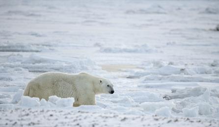 <h5>Polar Bear D850269</h5>