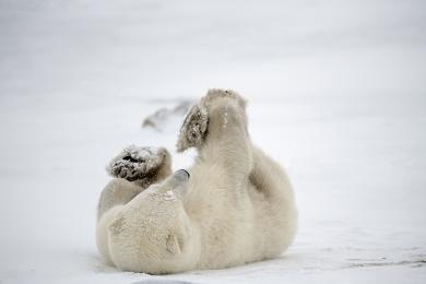 <h5>Polar Bear D858540</h5>