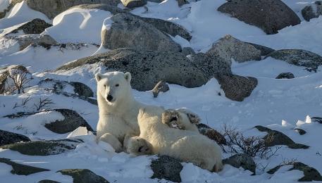 <h5>Polar Bears D850852</h5>
