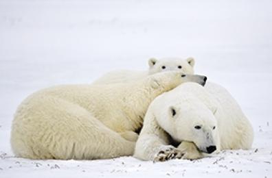 <h5>Polar Bears D858756</h5>