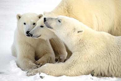 <h5>Polar Bears MVP7455 </h5>