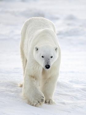 <h5>Polar Bear D850408</h5>