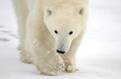 <h5>Polar Bear D859009</h5>