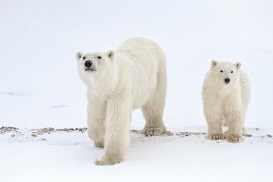 <h5>Polar Bears MVP8214</h5>