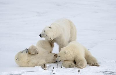 <h5>Polar Bears_MVP7509</h5>