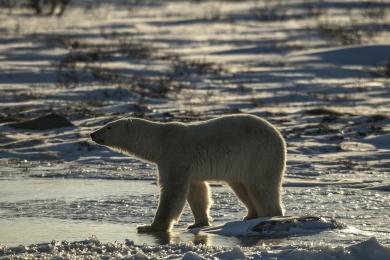 <h5>Polar Bear_D850703</h5>