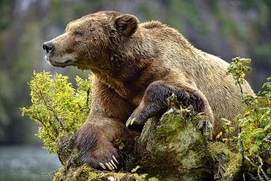 <h5>Khutzeymateen Grizzly Bears _D4S2948</h5>