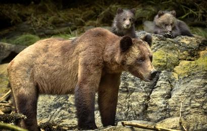<h5>Khutzeymateen Grizzly Bears _D4S1829</h5>